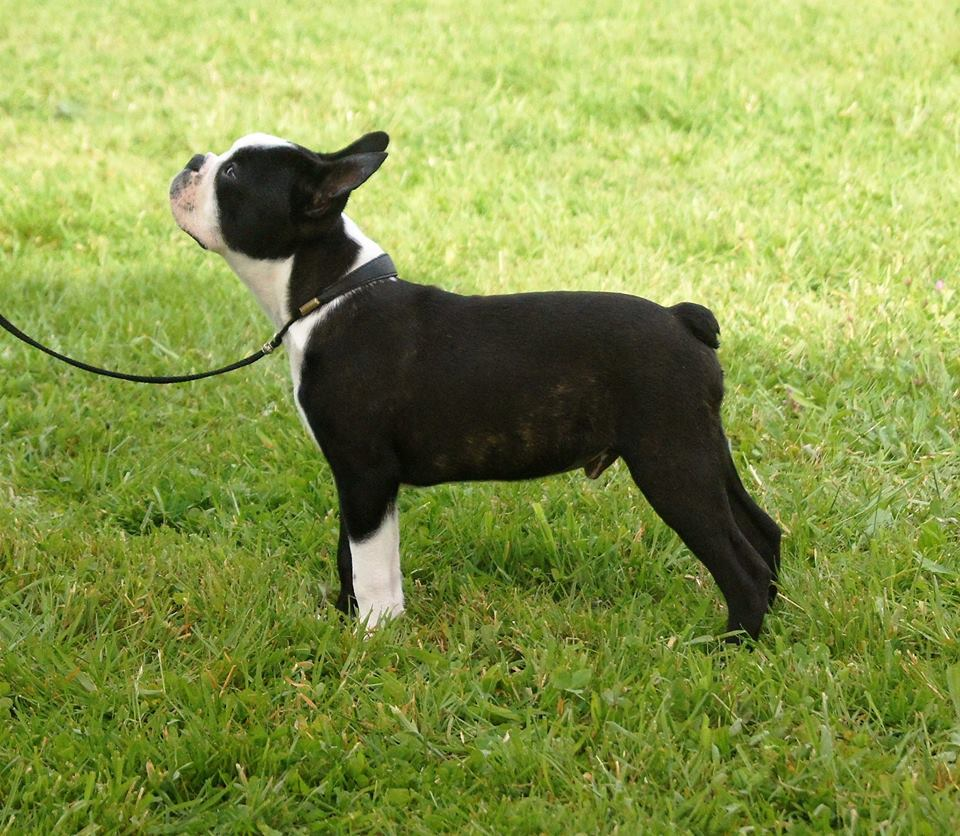 boston terrier , expo canine , education canine 35 , image ars canis