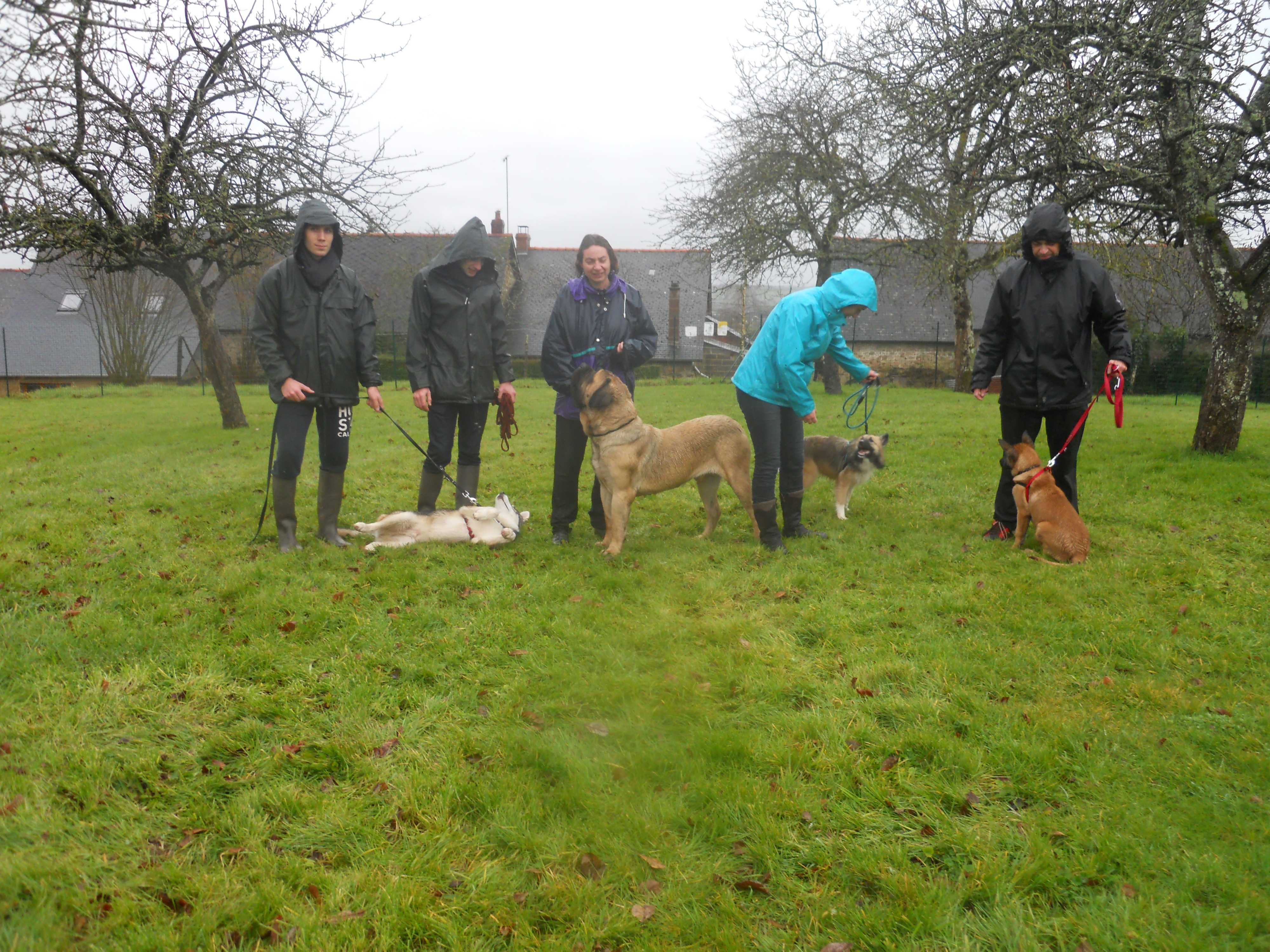 cours collectif chien , husky , mastiff , berger islandais , malinois