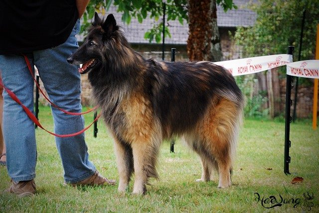 Tervuren ars canis education canine