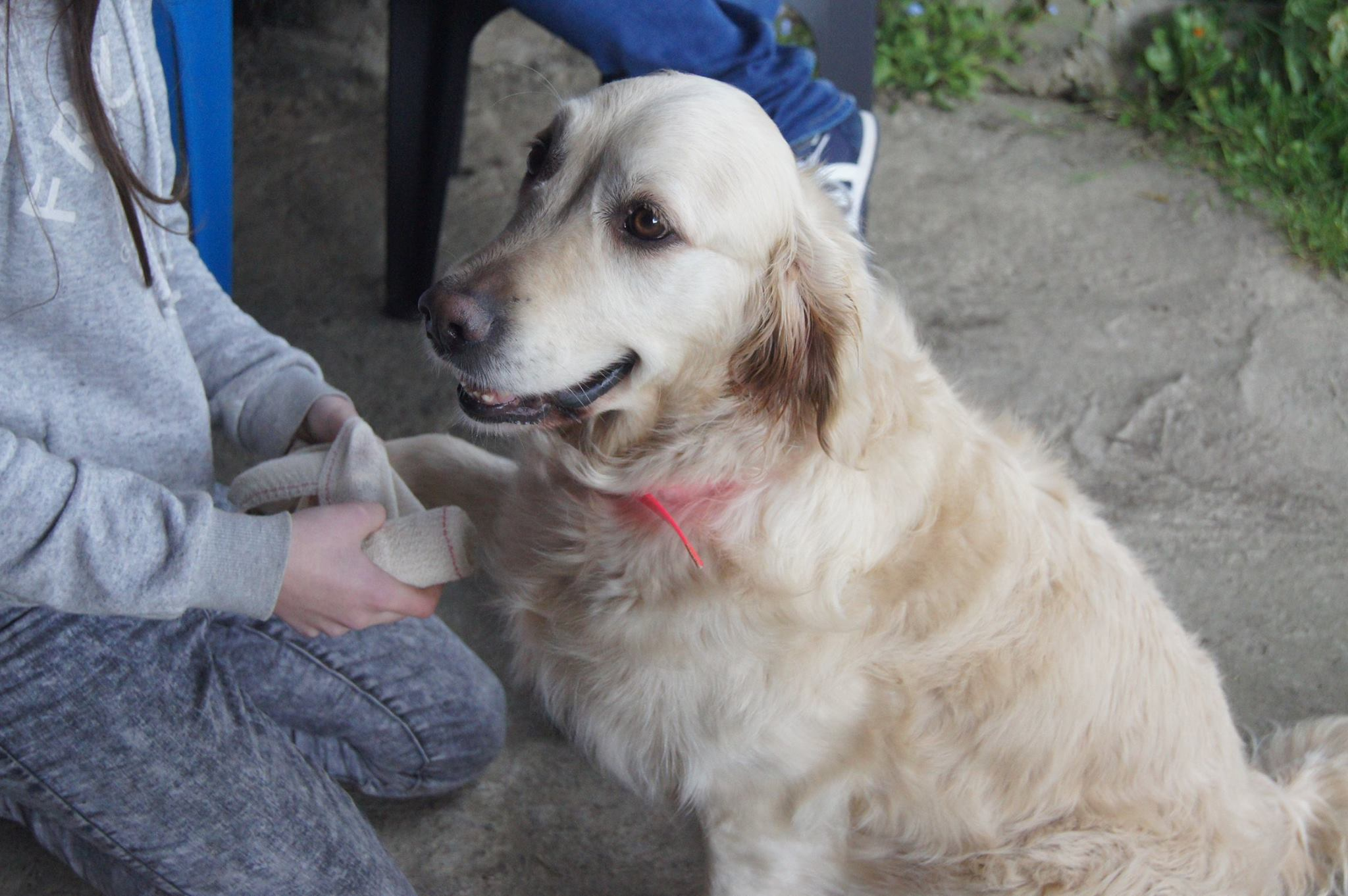 bandage patte , golden retriver , ars canis education canine