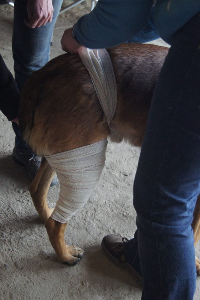 bandage queue , malinois , ars canis , education canine 35
